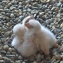 New hatchlings debut on BG Falcon Cam
