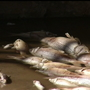 Dead fish in canals create smelly situation for Lower Valley neighbors