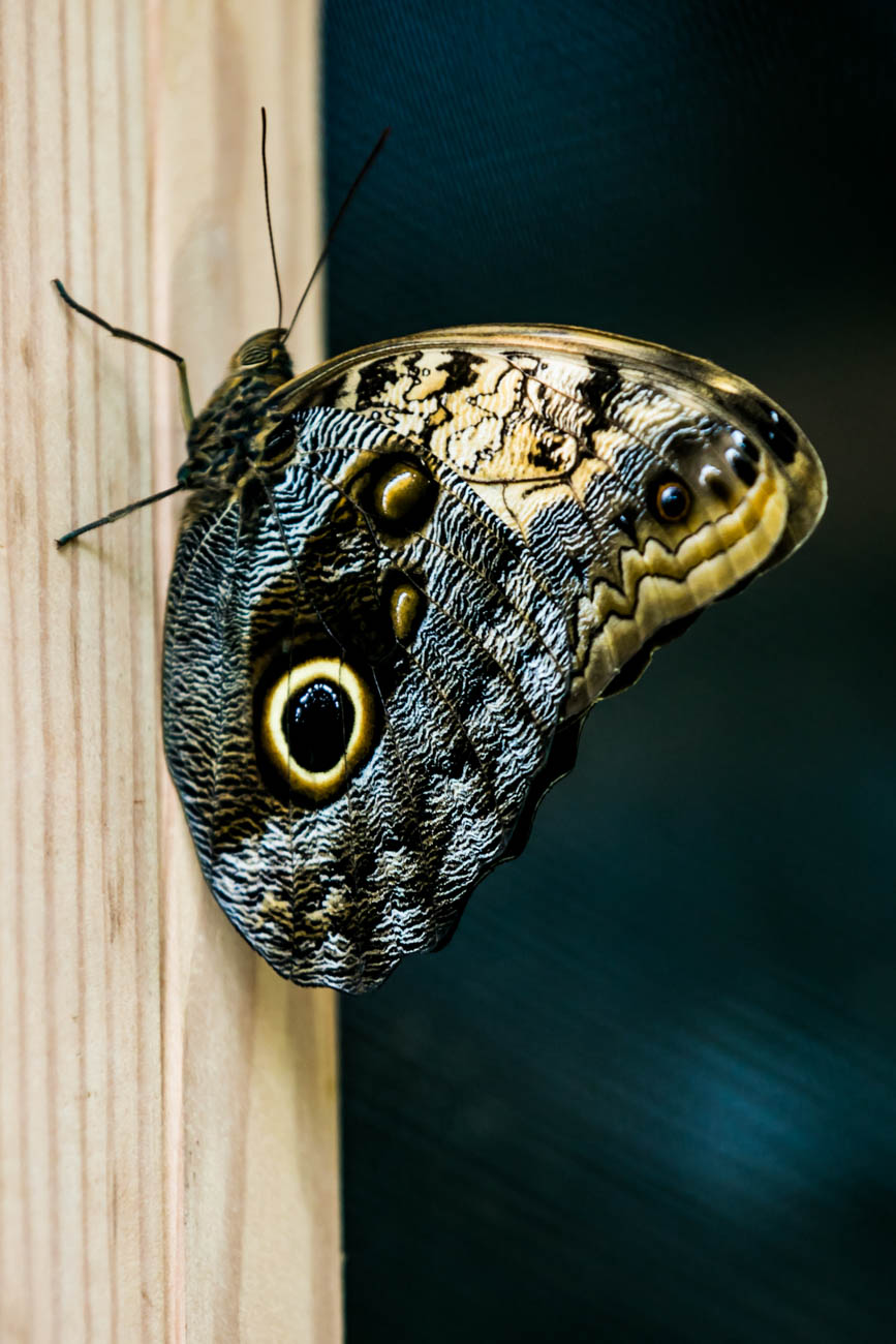 An owl butterfly / Image: Amy Elisabeth Spasoff // Published: 4.22.18