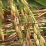 Arkansas to get gluten-free rice flour plant