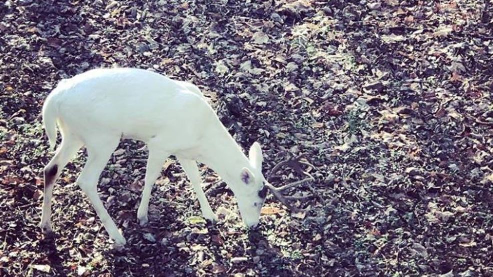 Albino white tail buck-Photo courtesy Amy Henderson Hall.JPG