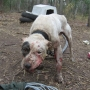Bred for Brutality, part 2: dog fighting in Jackson and Josephine Counties