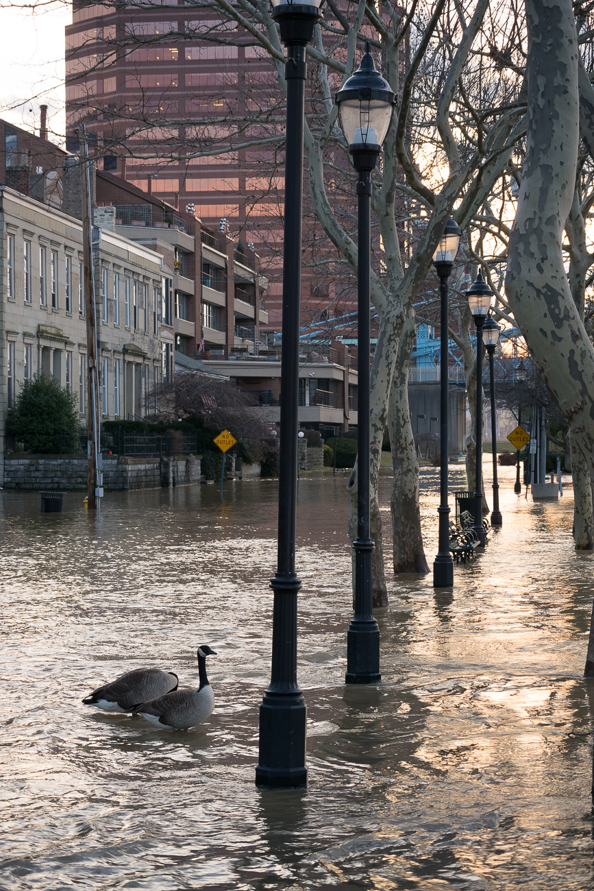 Geese enjoy floating down Riverside Drive in Covington.  / Image: Phil Armstrong, Cincinnati Refined // Published: 2.21.18
