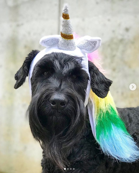 Izzy the Giant Unicorn was more a fan od the treats tha the tricks this Halloween!{ }(Image: via IG user @izzythegiantschnauzer)