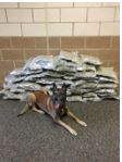K9 Voss with the marijuana deputies say he helped sniff out