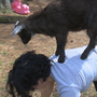 Goat yoga is raising money for children with special needs