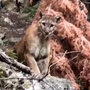 Heart-stopping mountain lion encounter in Sequoia National Park caught on video
