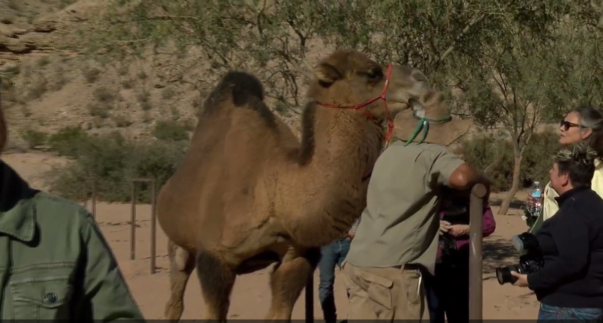 "Just last week, ""Camel Safari"" celebrated its grand opening. The facility is a 176-acre compound where visitors can take a guided tour through the desert.  11/22/16 (KSNV)"