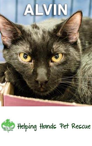 Meet Alvin, a playful boy with handsome yellow eyes. He's very social and would love a home with other pets.                                    Contact Helping Hands Pet Rescue today to find out more about Alvin and give him a forever home.