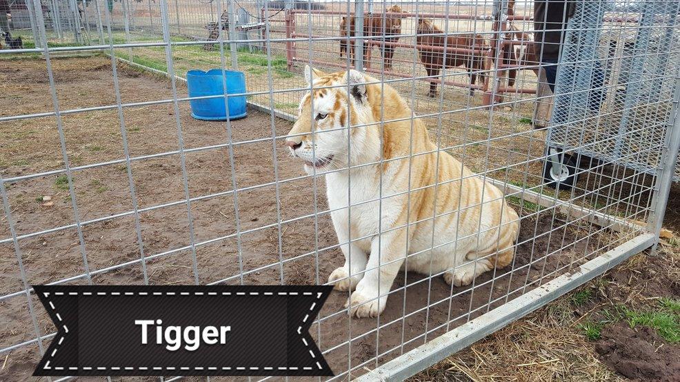 Turpentine Creek Wildlife Refuge rescues six tigers