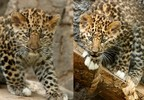 BABY LEOPARDS 1.jpg