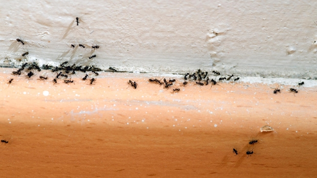 How to Prevent Nuisance Ants from Invading Your House