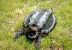 alligator-snapping-turtle-jpg-1598848-ver1-0.jpg