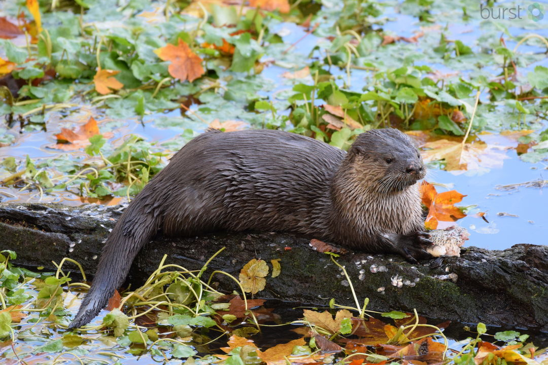 Michael Fischer shared this photograph of an otter on a pond near the Eugene Country Club via BURST.com/KVAL