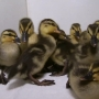 Portsmouth Animal Control Officer saves 11 ducklings
