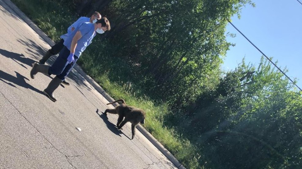 4 Baboons Escape From West Side Research Facility One