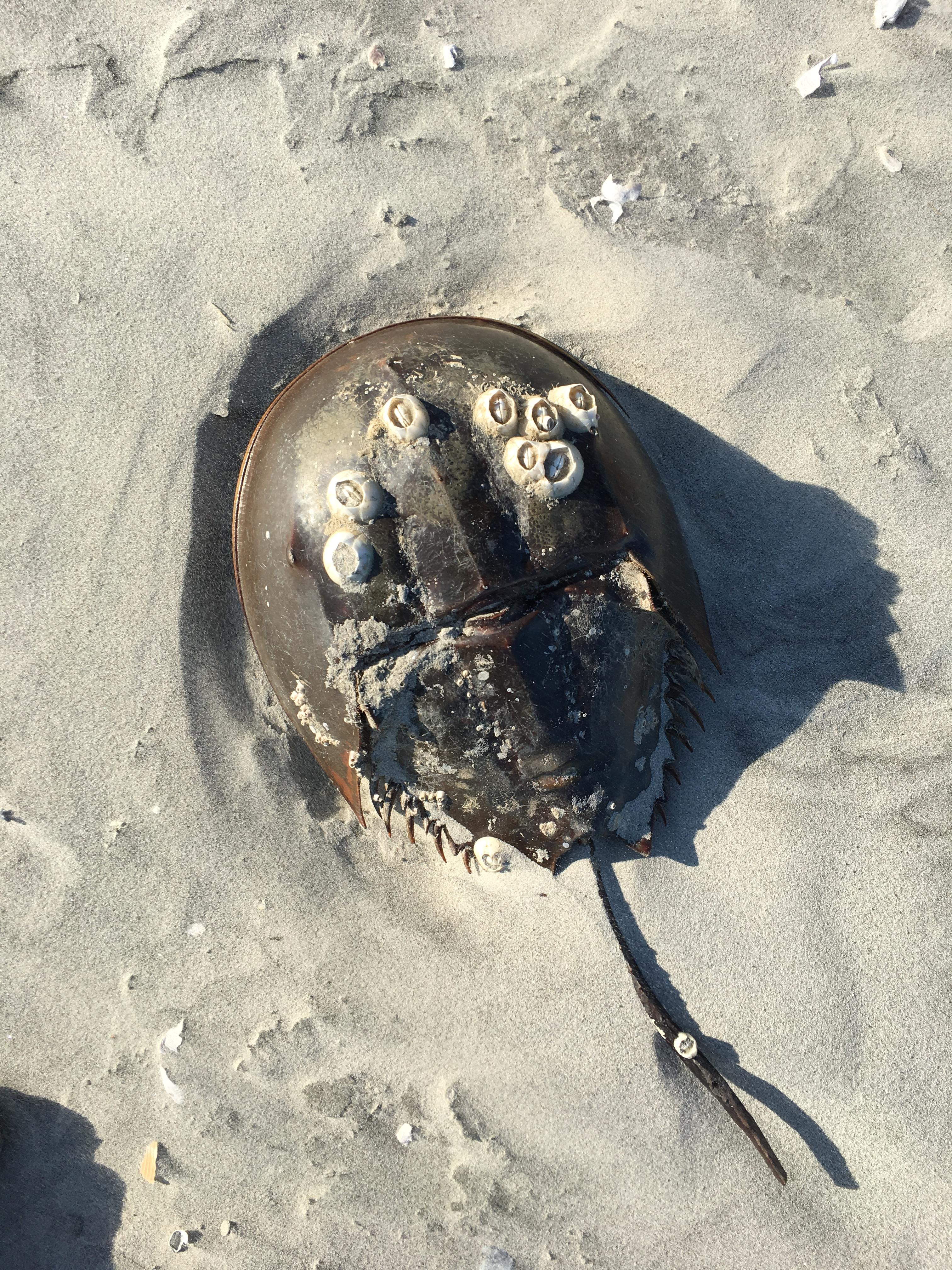 Horseshoe crab on Capers Island (Photo by Lani Furbank)