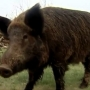 TX Dept. of Agriculture approves new method for killing wild hogs